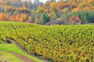 fall vineyard3