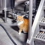 Beau's brewery cat
