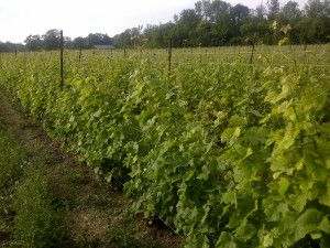 Stanners Vineyard vines