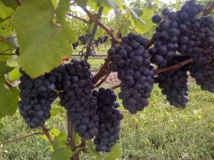 grapes purple NOTL