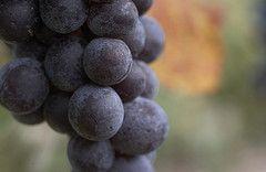Stratus Grapes