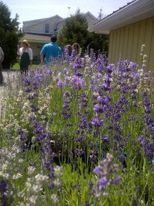 Lavender Farm by DT June 7 2015