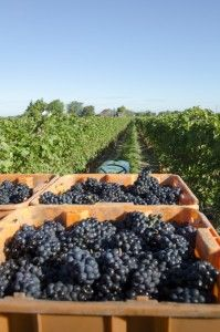 13th_street_winery_harvest-5821__thumb
